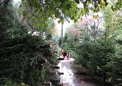 Joulukuusikauppaa Ateenassa 6.12.09