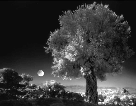 Olive Tree, Neil Folberg. The Everson Museum of Art.