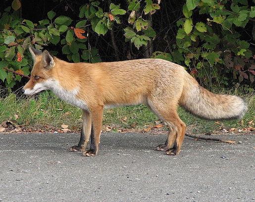 Kuva Wikimedia: Kettu, Vulpes vulpes.
